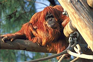 Orangutan at San Diego Zoo